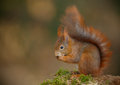 Red squirrel mossy log eating hazel nut soft background space to left Stock Images