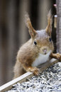 Red squirrel portrait eurasian close up Royalty Free Stock Photography