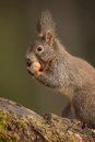 Red squirrel portrait in the forest eating a hazelnut Stock Photo