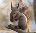 Red squirrel portrait of a sciurus vulgaris Royalty Free Stock Photography