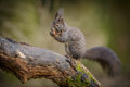 Red squirrel posing with a hazelnut Royalty Free Stock Images