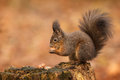 Red squirrel raiding the nuts taking hazel from an old rotten tree stump Stock Photo