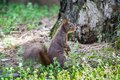 Red squirrel sciurus vulgaris among autumn leaves Royalty Free Stock Photography