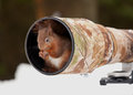 Red squirrel sciurus vulgaris sitting inside mm lens hood in yorkshire dales uk england on december Stock Image