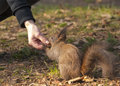 Red squirrel sciurus vulgaris taking food from a person s hand Stock Photo