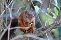 Red squirrel sciurus vulgaris on a tree Stock Image