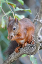 Red squirrel sciurus vulgaris on a tree Stock Photography