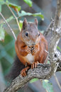 Red squirrel sciurus vulgaris on a tree Royalty Free Stock Photography