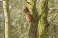 Red squirrel sciurus vulgarise the or eurasian is a species of tree in the genus sciurus common throughout Stock Photos