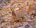 Red squirrel searching for walnut sciurus vulgaris in leaf litter in early spring park Royalty Free Stock Photo