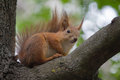 Cute red squirrel sits on the tree and keeps walnut in its paws