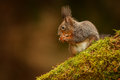 Red squirrel sitting on a mossy log sciurus vulgaris opening hazelnut Royalty Free Stock Images