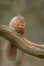 Red squirrel a sitting quietly on a dead tree branch eating a hazel nut Royalty Free Stock Photo