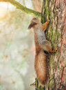 Red squirrel sitting on a tree branch Stock Photos