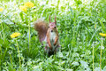 Red squirrel standing on green fresh grass with blooming yellow
