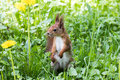 Red squirrel standing in green grass with growing dandelions. cl