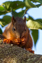 Red squirrel standing on the tree and eating Royalty Free Stock Photo