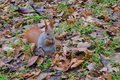 The red squirrel stands on its paws and eats sunflower seeds. Royalty Free Stock Photo