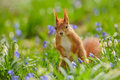 Red squirrel tiptoe tiptoeing through the flowers Royalty Free Stock Photo