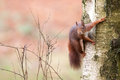 Red squirrel in a tree Stock Photos