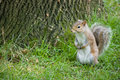 Red squirrel by tree Royalty Free Stock Photo