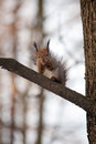 Red squirrel on the tree on outdoor nature background Royalty Free Stock Images