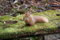 Red squirrel on wall cute sitting moss covered Stock Photo