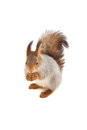 Red squirrel on white background his hind legs Royalty Free Stock Images