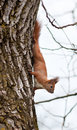 Red squirrel in the wild Royalty Free Stock Image