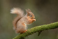 Red squirrel a wild feeding perched on a moss covered branch Stock Photo
