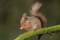 Red squirrel a wild feeding perched on a moss covered branch Royalty Free Stock Images