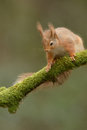 Red squirrel a wild perched on a moss covered branch Royalty Free Stock Image
