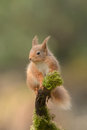 Red squirrel a wild perched on a moss covered branch Stock Photo