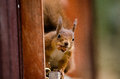 Red Squirrel On Window
