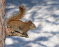 Red squirrel in winter sits on a tree branch ontario Stock Images