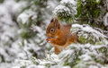 Red squirrel in Winter snow Royalty Free Stock Photo