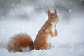 Red Squirrel In Winter Snow