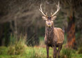 Red stag deer in the rain standing a rainy field of a forest clearing Stock Image