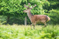 Red stag deer running through a field in the summer time Royalty Free Stock Images