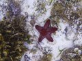 Red star fish on white sand sea bottom. Tropical starfish underwater photo.
