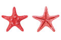 Red starfish or sea star on white background from above Royalty Free Stock Photo