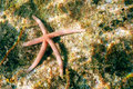 Red starfish on the seabed
