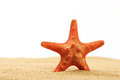 Red starfish standing in sea sand on white background Royalty Free Stock Photo