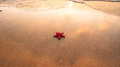 Red starfish on wet sand in natural sunlight Royalty Free Stock Photo
