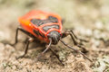 Red Stink Bug Royalty Free Stock Photo