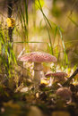 Red stipe, mushroom fly agaric, macro Royalty Free Stock Photo