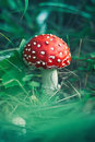Red stipe mushroom on the forest Royalty Free Stock Photo