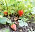 Red strawberries in the garden Royalty Free Stock Photo