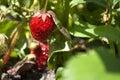 Red strawberries strawberry field strawberry bush one strawberry Stock Photo