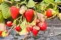 Red of Strawberry hanging farm full of ripe strawberries in strawberry farm Royalty Free Stock Photo